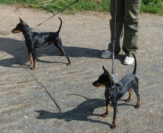 Zwei English Toy Terrier